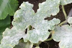 Fatal fungus on plants called powdery mildew. In summer on farm stock photography