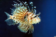 Fatal sea creatures Royalty Free Stock Photography