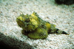 Fatal sea creatures. Ugly yellow green strange fish mimics rock with poisonous fins took in Shanghai Ocean Aquarium Royalty Free Stock Images