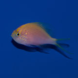 Fathead Sunburst Anthias. The Fathead Sunburst Anthias also known as Fathead Anthias, is a colorful fish, predominantly pink, with heavy yellow-to-orange scale Royalty Free Stock Photography