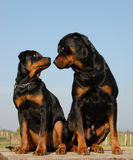 Father and boy rottweiler stock photo