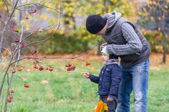 The father cares for the son in the autumn park against the background of a mountain ash branch Royalty Free Stock Image