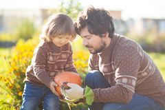 Toddler girl and her father harvesting orange pumpkin. Father and child working at family farm, countryside. Little gardener in the garden, autumn harvest, fall Stock Images