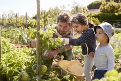 Father And Children Looking At Tomatoes Growing On Allotment stock images