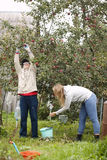 Father and daughter collecting apples in the orchard Royalty Free Stock Photography