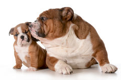 Father and daughter dog Royalty Free Stock Image