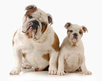 Father and daughter dog Royalty Free Stock Photography