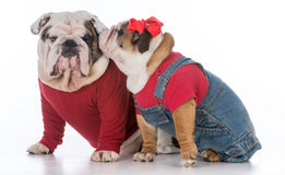 Father and daughter dogs Royalty Free Stock Images