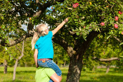 Father and daughter harvesting apples Stock Photo