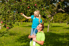 Father and daughter harvesting apples Stock Photography