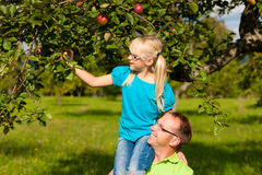 Father and daughter harvesting apples Royalty Free Stock Photography