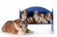 Father dog and his puppies Stock Photos