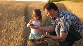 Father farmer plays with little son, daughter in the field. grain of wheat in hands of child. Dad is an agronomist and