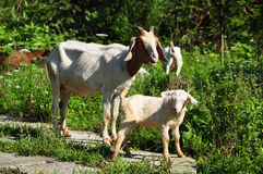 Father Goat and Baby Goat Stock Image