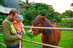 Father  with his little daughter feeding a horse. Young Father holding his little daughter and showing how to feed a horse. Horse farm in Oahu, New Zealand Stock Photography