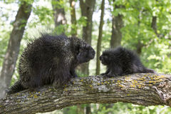 Father knows best. Male porcupine in young porcupine in tree arguing Stock Photography