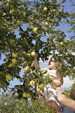Father lifting daughter (2-3) above head, girl picking apple from tree in garden, low angle view Royalty Free Stock Images