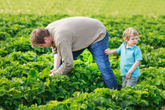 Father and little boy of 3 years on organic strawberry farm in s Royalty Free Stock Images