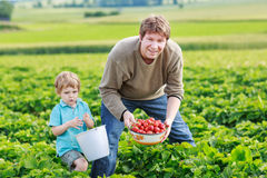 Father and little boy of 3 years on organic strawberry farm in s Stock Photography