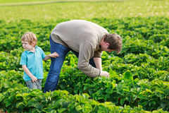 Father and little boy of 3 years on organic strawberry farm in s Stock Photos