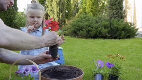 Father with little daughter replant flowers into clay pot stock video footage