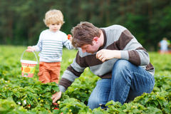 Father and little son on organic strawberry farm Royalty Free Stock Photography