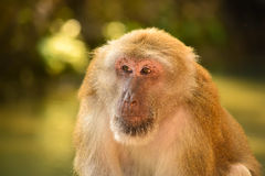 Father monkey looking like a boss Royalty Free Stock Images
