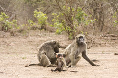 Father, mother and baby baboons, Kruger, South Africa Royalty Free Stock Images