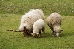 Father, mother and child sheep Stock Photo