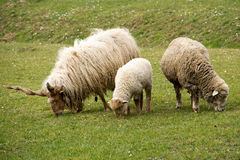 Father, mother and child sheep Royalty Free Stock Image
