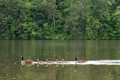 Father and mother goose with their children. Father and mother goose swimming in the lake under the rain with green forest background Royalty Free Stock Photo