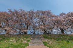 Father raise up child in the sakura garden. Japan springtime Royalty Free Stock Photo