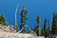 Father and Son. Old tree hugging new tree at Crater Lake, OR Royalty Free Stock Photo