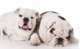 Father and son bulldogs Stock Images