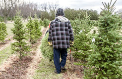 Father and son carrying Christmas tree after cutting it down on Royalty Free Stock Image
