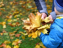 Father and son collect maple leaves. Royalty Free Stock Photo