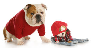 Father and son dogs Royalty Free Stock Photos