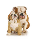 Father and son dogs Royalty Free Stock Photography