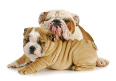 Father and son dogs Stock Images