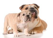 Father and son dogs. Father and son english bulldogs isolated on white background Stock Image