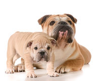 Father and son dogs. Father and son english bulldogs isolated on white background Royalty Free Stock Images