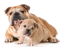 Father and son dogs. Father and son english bulldogs isolated on white background Stock Photography