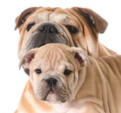 Father and son dogs Stock Image