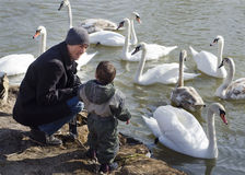Father and son feeding swans Royalty Free Stock Image