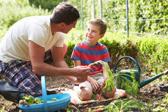 Father And Son Harvesting Carrots On Allotment. Smiling To Each Other royalty free stock images