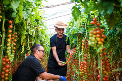 Father and son harvesting home grown cherry tomatoes in greenhou Royalty Free Stock Photos