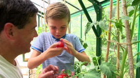 Father And Son Harvesting Home Grown Tomatoes In Greenhouse. Father and son collect ripe tomatoes from plants growing in greenhouse. Shot on Sony FS700 in PAL stock video footage