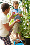 Father And Son Harvesting Home Grown Tomatoes In Greenhouse. Happy Father And Son Harvesting Home Grown Tomatoes In Greenhouse Outdoors Royalty Free Stock Images