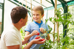 Father And Son Harvesting Home Grown Tomatoes In Greenhouse. Smiling At Each Other Royalty Free Stock Photography