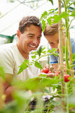 Father And Son Harvesting Home Grown Tomatoes In Greenhouse. Vertical Image Of Father And Son Harvesting Home Grown Tomatoes In Greenhouse Royalty Free Stock Image